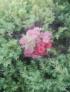 Lilioms