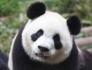 Panda89
