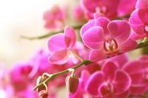 orhideja_asd